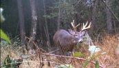 bigger buck.jpg